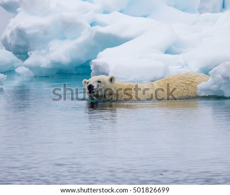Polar bear slips into the icy Arctic waters near Spitzbergen