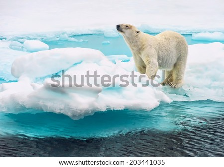 polar bear sniffing on an ice floe in the arctic ocean above svalbard norway - stock photo