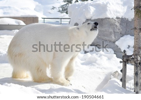 Polar bear snuff - stock photo