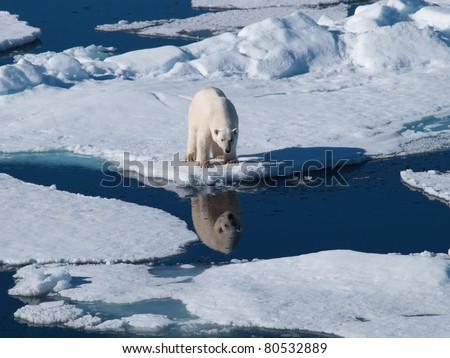 Polar Bear Spitsbergen reflection in water - stock photo