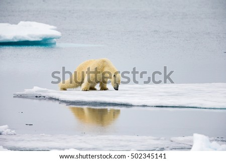 Polar bear spreads his legs to spread his weight over thin ice