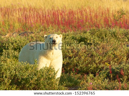 Polar Bear standing in the colorful tundra full of fire weed at sunset in Manitoba, Canada - stock photo