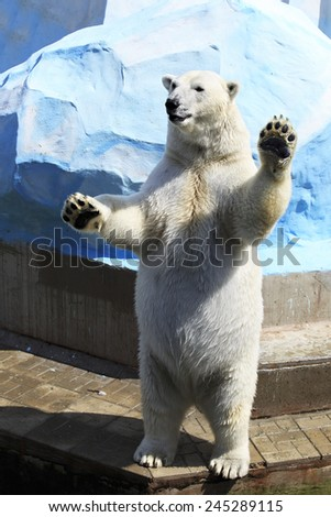 Polar bear standing on its hind legs (swears before the law). - stock photo