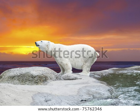 Polar bear stands on the rocks near the pond against dramatic sunset - stock photo