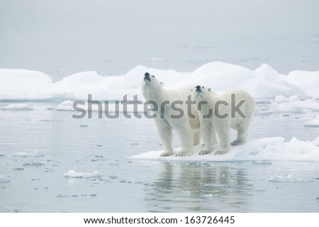 Polar bear Svalbard islands Norway Female and young male