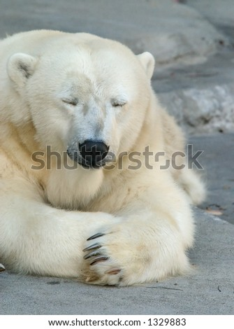 Polar Bear taking an afternoon nap. - stock photo