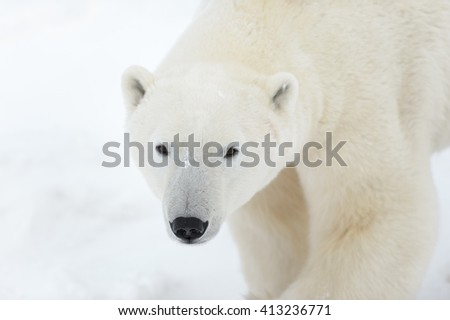 Polar Bear (Ursus maritimes) - Here's Looking At You  - stock photo