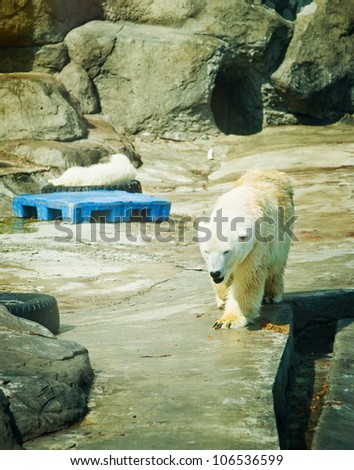 Polar Bear - Ursus maritimus - stock photo