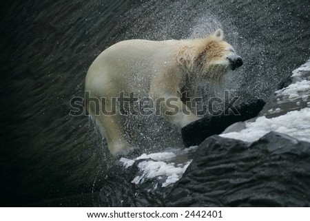 Polar Bear, Ursus maritimus - stock photo