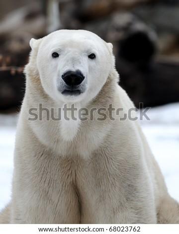 Polar bear (Ursus maritimus) - stock photo