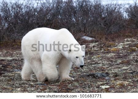 Polar bear (Ursus maritimus), Churchill, Manitoba, Canada - stock photo