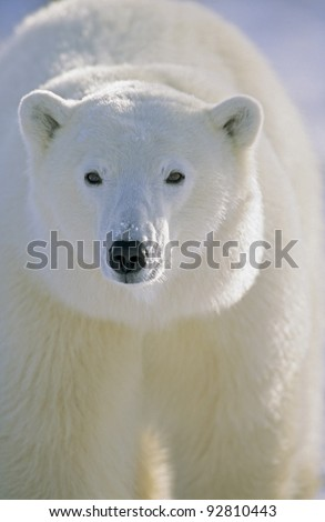 Polar Bear (Ursus maritimus) Churchill, Manitoba, Canada. - stock photo