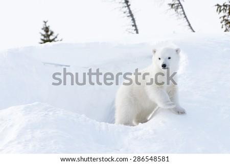 Polar bear (Ursus maritimus) cub coming out den, Wapusk national park, Canada. - stock photo