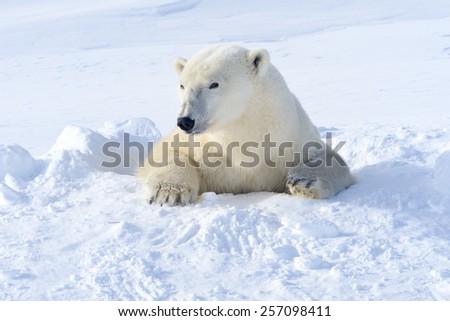 Polar bear (Ursus maritimus) mother coming out freshly opened den, Wapusk national park, Canada. - stock photo