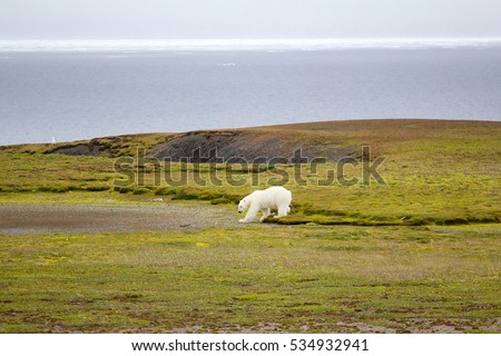 Polar bear (Ursus maritimus) wanders among polar gravelly desert, sniffs, looks around because food (seals) went North with ice. Climate change, melting of ice caps of poles. Hungry bear is dangerous