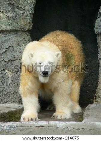 Polar bear walking - stock photo