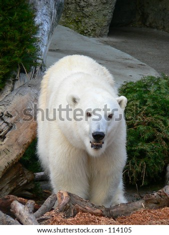 Polar bear walking - stock photo