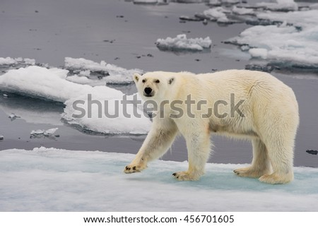 polar bear walking along ice floes in arctic norway sea
