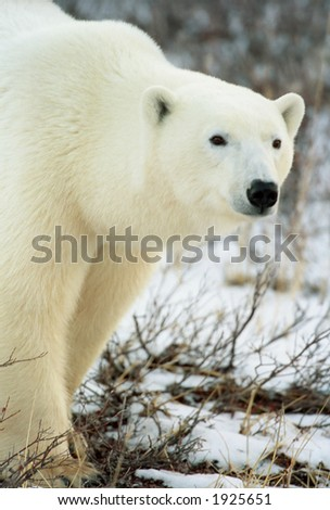polar bear walking along tundra in churchill, canada (non captive) - stock photo