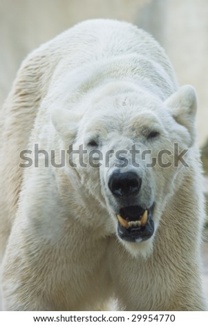 Polar bear walking and making lot of noise - stock photo