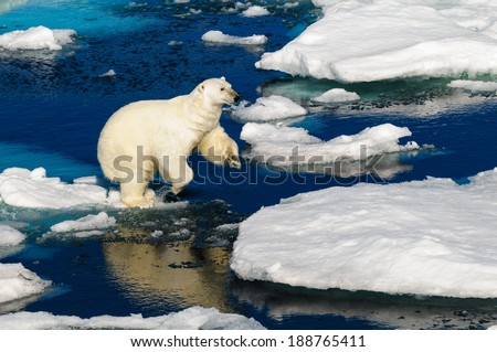 Polar bear walking between ice floats on a large ice pack in the Arctic Circle, Barentsoya, Svalbard, Norway - stock photo