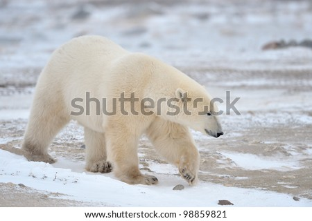 Polar Bear walking in snow. - stock photo