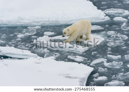 Polar bear walking on ice floe of the pack. Close view. Spitsbergen. - stock photo