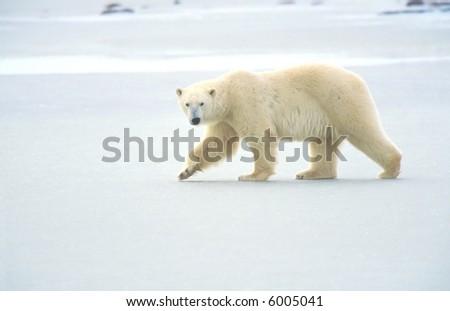 polar bear walking on ice pack of tundra near churchill canada - stock photo