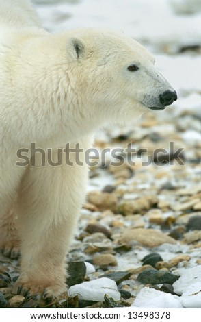 polar bear walking on rocky tundra in churchill canada (non-captive) - stock photo
