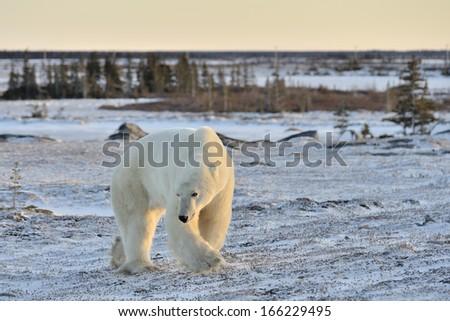 Polar bear walking on tundra. - stock photo