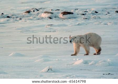polar bear walking snowy tundra late afternoon near churchill canada - stock photo