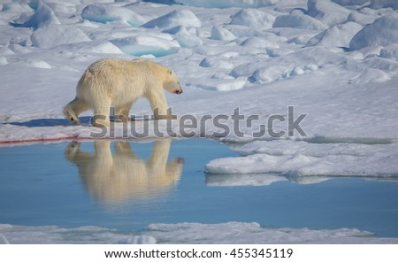 Polar bear walks past reflecting ice pool in Arctic.