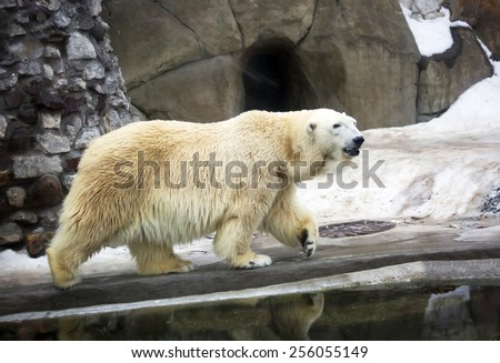 Polar bear White bear is a typical inhabitant of the Arctic. The polar bear is the largest representative of the entire detachment of prey. - stock photo