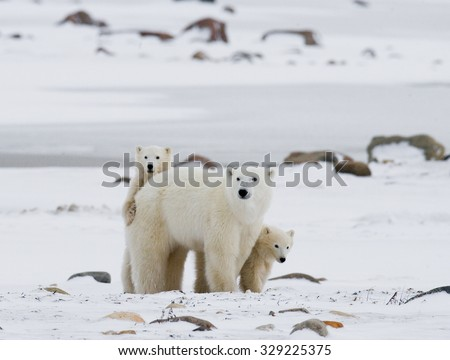 Polar bear with a cubs in the tundra. Canada. An excellent illustration. - stock photo