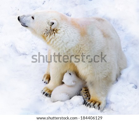 Polar bear with cub on snow  - stock photo