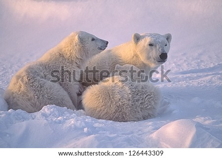 Polar bear with her cubs. Canadian Arctic - stock photo