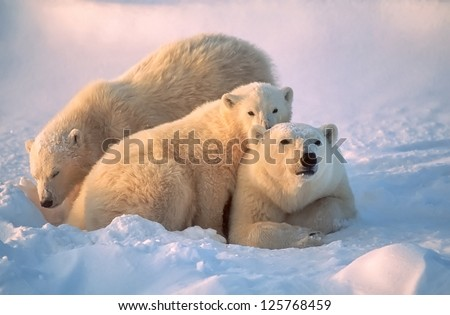 Polar bear with her cubs, together for warmth and protection. - stock photo