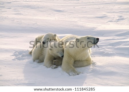 Polar bear with her twin cubs in the Canadian Arctic - stock photo