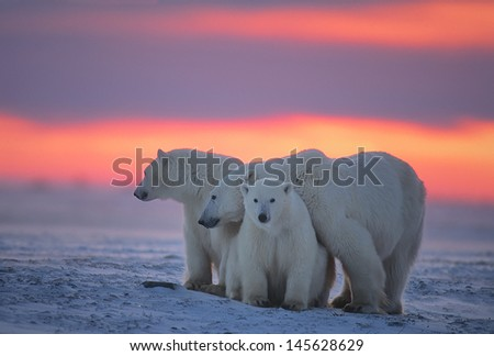 polar bear with her yearling cubs against Arctic sunset - stock photo