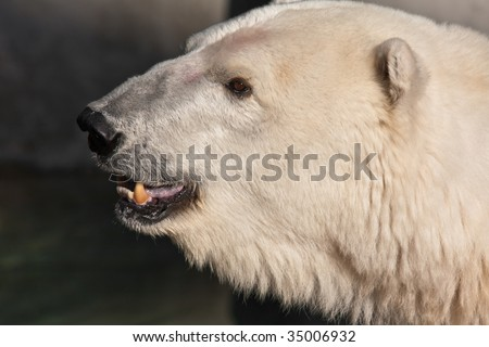 Polar Bear with Mouth Open