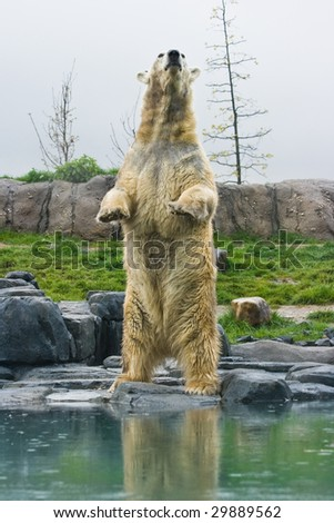 Polar bear with reflection standing upright at the waterside - stock photo
