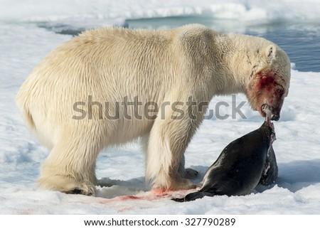 Polar Bear with seal on the ice, Spitsbergen  - stock photo