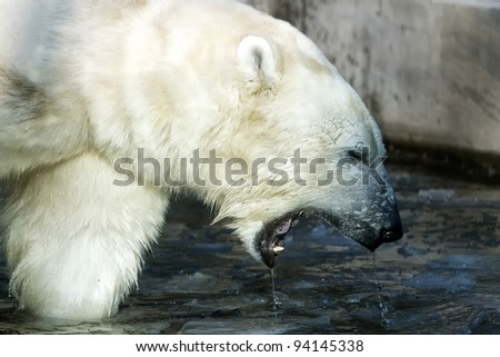 polar bear with wide open mouth - stock photo