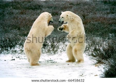 polar bears boxing in tundra near churchilll canada - stock photo