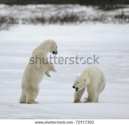 Polar bears fight, challenging leadership. - stock photo
