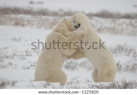 Polar Bears in Churchill Manitoba Canada North - stock photo