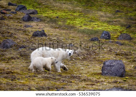 Polar Bears on Franz-Joseph Land. Female with funny plump cub on island NORTHBROOK. Flees after collision with people and shot with rocket. Series of pictures