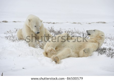 Polar bears playfool on the snow. - stock photo