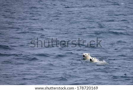 Polar bears swimming in sea, mother and cub - stock photo