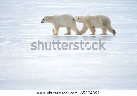 polar bears walking on ice, one biting other - stock photo